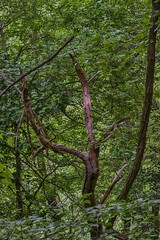 TREE DANCING IN VALTRAMIGNA (gianmaria.colognese) Tags: verde foglie sottobosco boscaglia