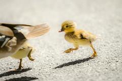 Schnell, schnell ber die Strae... (kreativmodus.de) Tags: animals zoo tiere duck creative tierpark ente karlsruhe kreativ kreativmodus kreativmodusde