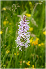 Common Spotted Orchid (Dactylorhiza Fuchsii) (Sharon Dow Photography) Tags: pink flowers wild england orchid macro english nature sussex woods flora europe pretty european purple westsussex britain meadow naturalhistory spots lilac british spotted horsham spikes buttercups 105mm 2016 commonspottedorchid dactylorhizafuchsii warnhamnaturereserve d7100 nikond7100 sharondowphotography june2016