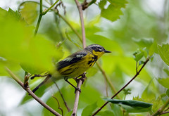 Magnolia Warbler (av8s) Tags: ohio nature birds photography nikon wildlife sigma oh warbler songbirds perchingbirds magnoliawarbler mageemarsh d7100 120400mm