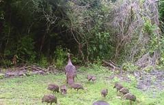 wild turkeys, two hens + 11 of their 12 poults (originalelmo) Tags: wildturkeys