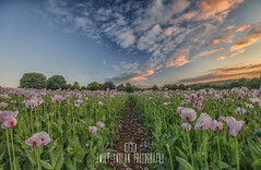 Dorset Pink Opium Poppies (Emily_Endean_Photography) Tags: flowers moon clouds sunrise landscape dorset poppy poppies