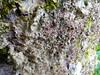 Lobaria virens, very dry (aburgh) Tags: blsfieldmeeting scotland isleofskye lichen corticolous foliose lobaria