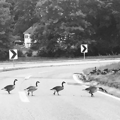 Don't Stop and Eat! Run Geese Run (Forsaken Fotos) Tags: apt aptliving