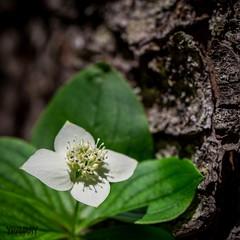 Quatre-temps / Bunchberry / cornus canadensis (yravaryphotoart.com) Tags: plant flower macro fleur plante cornuscanadensis quatretemps cornouiller canoneos7d canon7d canadiandwarfcornel canonef100mmf28lmacroisusm yravaryphotoart yravaryphotoartcom