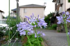 178/366 : Agapanthus -  (hidesax) Tags: leica flower japan purple x neighborhood saitama agapanthus vario ageo  365project 366project 178366 hidesax 366project2016