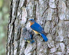 Fledgling bluebird and father after the baby flew from the nest in a bird bottle to the nearest tree. (mtkams) Tags: babybluebird bluebird easternbluebird fledgling