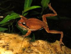 Whistling Tree Frog (Litoria verreauxi verreauxi) (Heleioporus) Tags: new tree wales south sydney frog whistling verreauxi litoria