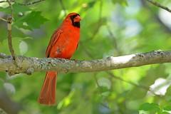 Northern Cardinal (Steve Liffmann) Tags: cardinal northerncardinal