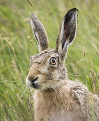 Brown Hare (Yvonne Alderson) Tags: brown field march hare long yorkshire ears