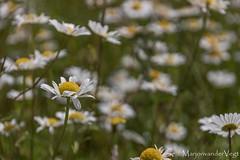veld (LadyLove1967) Tags: voorjaar denhaag zwanen nijlgansje bloemen