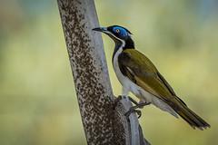 Blue-faced honey Eater DSC_8286-Edit (BlueberryAsh) Tags: bird bluefacedhoneyeater honeyeater northernterritory australianbird matarankssprings