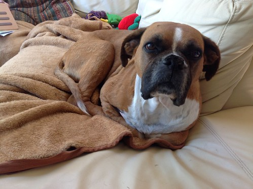 Reba the Boxer dog