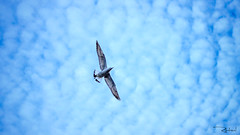 11111 (1 of 1)-81 (Rahul Waghela) Tags: travel blue sky india bird nature birds animal clouds canon flying wings focus flickr outdoor wildlife details wide free explore jungle mumbai selective senere allfocus