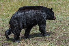 After-bath (ChicagoBob46) Tags: blackbear bear boar yellowstone yellowstonenationalpark nature wildlife