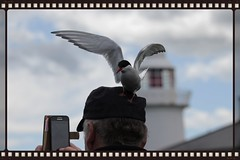 Selphie or photobomb (Finding Chris) Tags: selphie photobomb farneislands northumberland blackheadedgulls pecking attacking hat headshot samsung thebirds hitchcock terns