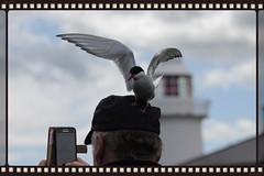 Selphie or photobomb (Finding Chris) Tags: selphie photobomb farneislands northumberland blackheadedgulls pecking attacking hat headshot samsung thebirds hitchcock terns