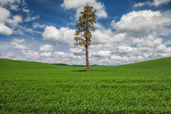 Lone tree Palouse backroads (ortho00) Tags: landscape palouse spring lonetree