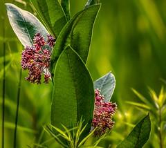 Common Milkweed (Wes Iversen) Tags: flowers nature brighton bokeh michigan blossoms milford blooms milkweed kensingtonmetropark commonmilkweed asclepiassyriaca hbw bokehwednesdays tamron150600mm