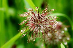 rain drops on............. (Suzie Noble) Tags: plant flower rain seedhead raindrops wildflower strathglass struy