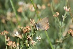 Satyrium ilicis (esta_ahi) Tags: barcelona españa insectos fauna butterfly spain lepidoptera mariposa penedès lycaenidae papallona theclinae satyrium subirats satyriumilicis испания elpago ilicis eumaeini