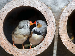 Birds giving love in the tube (Tambako the Jaguar) Tags: clay tube two exotic birds cute love plttli zoo frauenfeld switzerland nikon d5 zebra finch explore