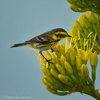 Townsend's Warbler on an Agave Blossom