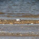 Little Gull at Morgan Mudflats thumbnail