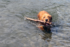 Monsieur Renoir (mariewise) Tags: beach water oregon swim washington driftwood columbiariver stick kalama retrieve northport portofkalama