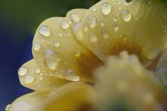 Water-E Flower (Djenzen) Tags: flower water canon drops jeroen jansen bloem druppels 40d djenzen