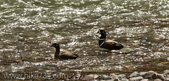 """Harlequin Ducks • <a style=""""font-size:0.8em;"""" href=""""http://www.flickr.com/photos/63501323@N07/8733260895/"""" target=""""_blank"""">View on Flickr</a>"""