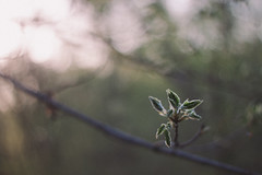 budding (thathannaholson) Tags: trees light tree nature 50mm bokeh bud budding blooming vsco vscofilm
