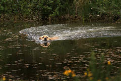Gundogs (jane currie) Tags: reflection water swim golden pond labrador retrieve gundog