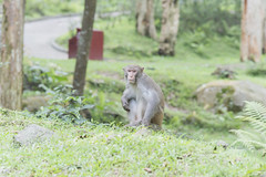 Hi Monkey () Tags: life wild green animal monkey hiking        nikond800 nikkoraised180mmf28