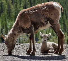 Thinhorn Sheep (Aerogami.com) Tags: 2 baby canada alaska canon eos highway sheep mark goat yukon ii 5d molt mk territories alcan dall mkii markii thinhorn aerogami