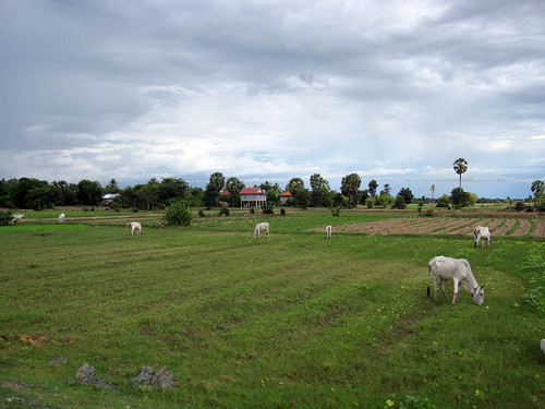 Cattle grazing in fallow land in Cambodia. Photo by Jharendu Pant, 2009.