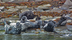 Seal family (JanuaryJoe) Tags: scotland orkney scapa orkneyislands