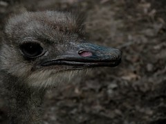 (Jn Belitkov) Tags: bird canon photography grey zoo head ostrich