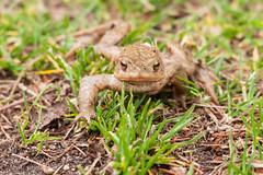 Hello! (martinstelbrink) Tags: grass germany sigma toad nrw nordrheinwestfalen krte commontoad a700 erdkrte maasschwalmnettenaturepark sigma120400mmf4556 maasschwalmnettenaturpark
