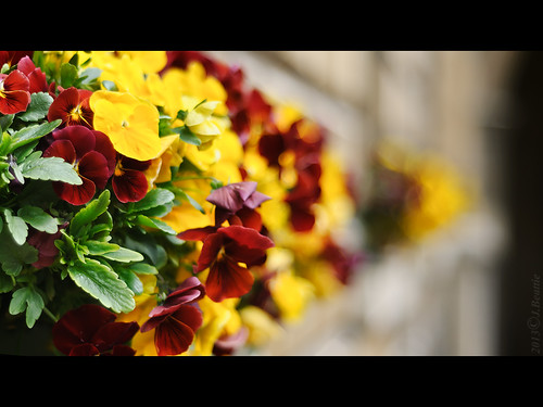 HBW - Bunch Of Pansies Edition
