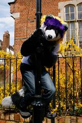 AylesFur_MG_10053 (Mikepaws) Tags: england dog up animal town costume furry husky wolf buxton walk buckinghamshire dressing fox cuddly april aylesbury farley fandom bloo furs anthro fursuit 2013 volf