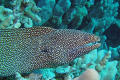eel spotted (BarryFackler) Tags: ocean life sea fish nature water ecology animal coral fauna island hawaii polynesia bay marine underwater pacific being dive scuba diving sealife pacificocean tropical marinebiology diver z bigisland aquatic eel reef creature biology undersea kona moray morayeel ecosystem coralreef marinelife vertebrate zoology seacreature marineecology organism whitemouthmorayeel honaunau konacoast puhi hawaiicounty southkona hawaiiisland 2013 honaunaubay marineecosystem westhawaii gymnothoraxmeleagris whitemouthmoray konadiving bigislanddiving hawaiidiving sealifecamera puhionio barryfackler barronfackler gmeleagris