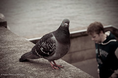 One of London's finest (Stephen Champness) Tags: city london westminster thames river nikon pigeon famous southbank embankment nikond3200 d3200 lightroom4 adobelightroom4 stephenchampness