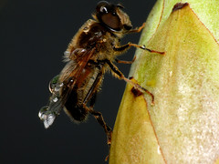 Insekt und Wassertropfen (acmelucky777) Tags: macro nature water up animal animals germany insect deutschland tiere drops wasser foto dof close bokeh wildlife natur insects nrw makro mode insekt 250 tier insekten entomologie wassertropfen tropfen biene schrfentiefe westfalen dcr nordrhein insecta raynox tiefenschrfe makroaufnahmen alsdorf 2013   kerbtiere 1620676