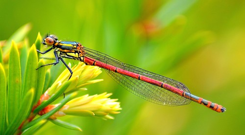 colorful damselfly