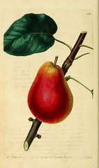 n75_w1150 (BioDivLibrary) Tags: fruitculture greatbritain periodicals umassamherstlibrariesarchiveorg bhl:page=21999527 dc:identifier=httpbiodiversitylibraryorgpage21999527 artist:name=augustainneswithersartistviaf95819243 taxonomy:common=forellepear womeninscience augustainneswithers q2870951 illustrator:wikidata=q2870951 hernaturalhistory