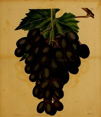 n230_w1150 (BioDivLibrary) Tags: fruitculture greatbritain periodicals umassamherstlibrariesarchiveorg bhl:page=21999682 dc:identifier=httpbiodiversitylibraryorgpage21999682 artist:name=augustainneswithers artist:viaf=95819243 grape horsforthseedlinggrape taxonomy:genus=vitis womeninscience augustainneswithers q2870951 illustrator:wikidata=q2870951 hernaturalhistory