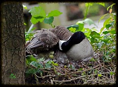 A Gossling in  the Nest (ikan1711) Tags: nature birds geese spring pond fowl canadageese beautifulnature gosslings localpond gosslinginnest