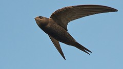 Common swift (Apus apus) in flight (PeterQQ2009) Tags: holland birds apusapus commonswift