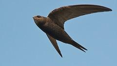 Common swift (Apus apus) in flight (PeterQQ2009) Tags: holland birds apusapus commonswift